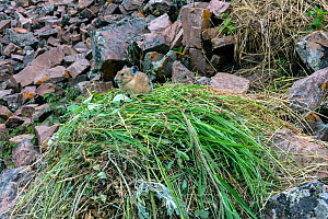 Pika (Ochotona princeps) on hay pile,  in Bridger National Forest,  Wyoming, USA. July.  -  Jeff Foott