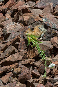 Pika (Ochotona princeps) gathering plants to store for winter, Bridger National Forest,  Wyoming, USA. August.  -  Jeff Foott