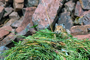 Pika (Ochotona princeps) on hay pile, in Bridger National Forest,  Wyoming, USA. June.  -  Jeff Foott