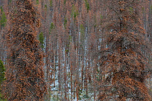 Lodgepole pine forest (Pinus contorta) with trees killed by Mountain pine beetle (Dendroctonus ponderosae) Rocky Mountain National Park, Colorado, USA. October. The current outbreak of mountain pine b... - Jeff Foott