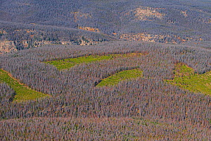 Aerial photograph of  Lodgepole Pine forest (Pinus contorta) with dead trees killed by Mountain pine beetle (Dendroctonud ponderosae)  Clear cut areas only have young trees. Granby, Colorado, USA. Oct... - Jeff Foott