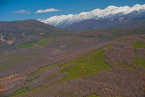 Aerial photograph of  Lodgepole Pine forest (Pinus contorta) with many dead trees killed by Mountain pine beetle (Dendroctonus ponderosae) Granby, Colorado, USA. October. The current outbreak of mount... - Jeff Foott