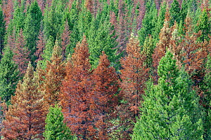Dead trees killed by Mountain pine beetle (Dendroctonus ponderosae)  Idaho, USA, August. The current outbreak of mountain pine beetles has been particularly aggressive. This is due to climate change,...  -  Jeff Foott
