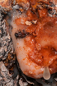 Dead Mountain pine beetle (Dendroctonus ponderosae)  'pitched out' by pitch / resin in Lodgepole pine tree, Grand Teton National Park, Wyoming, USA. August. The current outbreak of mountain pine beetl... - Jeff Foott