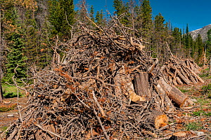 Dead Trees being removed from Rocky Mountain National Park, Colorado, killed by Mountain pine beetle (Dendroctonus ponderosae).  Climate change. The current outbreak of mountain pine beetles has been... - Jeff Foott
