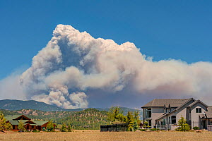 Fort Collins- Colorado forest  fire seen from Estes Park. The fire was intensified by dead trees killed by the Mountain pine beetle (Dendroctonus ponderosae).  Colorado, USA, June. The current outbrea... - Jeff Foott