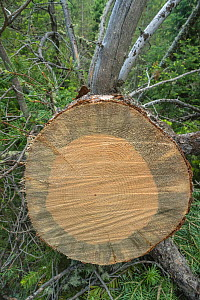 Cross section through trunk of tree infected with Mountain pine beetle larvae (Dendroctonus ponderosae). Note dark stain from fungus transported by the  beetle. Grand Teton National Park, Wyoming, USA... - Jeff Foott