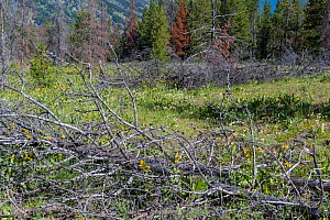 Dead Lodgepole Pine trees killed by Mountain pine beetle (Dendroctonus ponderosae)  that have blown down creating a fire hazard.  USA, July. The current outbreak of mountain pine beetles has been part... - Jeff Foott