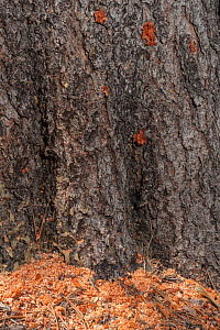 Saw dust (frass) at base of Lodgepole Pine tree trunk where Mountain pine beetles (Dendroctonus ponderosae) have drilled through the bark.Resin / pitch indicate the beetles' entry holes. Grand Teton N... - Jeff Foott