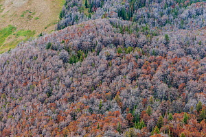 Dead White bark pine trees (Pinus albicaulis) killed by Mountain pine beetle (Dendroctonus ponderosa,)  Grand Teton National Forest, Wyoming, USA. The current outbreak of mountain pine beetles has bee... - Jeff Foott