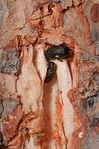 Mountain pine beetle (Dendroctonus ponderosae) male and female in Lodgepole Pine tree, Grand Teton National Park, Wyoming, USA, August. The current outbreak of mountain pine beetles has been particula... - Jeff Foott