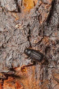 Mountain pine beetle( Dendroctonus ponderosae)  trying to enter  Lodgepole Pine tree, Grand Teton National Park, Wyoming, USA, August. The current outbreak of mountain pine beetles has been particular...  -  Jeff Foott