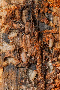 Mountain pine beetle (Dendroctonus ponderosae)  larvae in horizontal tunnels that eventually will kill the tree. in Lodgepole Pine, Grand Teton National Park, Wyoming, USA, August. The current outbrea...  -  Jeff Foott