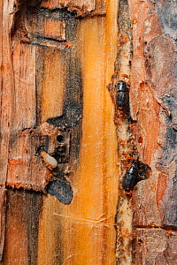 Mountain pine beetle (Dendroctonus ponderosae) in Lodgepole Pine, Grand Teton National Park, Wyoming, USA, August. The current outbreak of mountain pine beetles has been particularly aggressive. This...  -  Jeff Foott