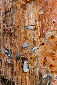 Larvae of Mountain pine beetle (Dendroctonus ponderosae) in  Lodgepole Pine, Grand Teton National Park, Wyoming, USA, August. The current outbreak of mountain pine beetles has been particularly aggres... - Jeff Foott
