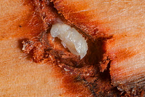 Mountain pine beetle (Dendroctonus ponderosae)  pupa in Lodgepole Pine,  Teton National Park, Wyoming, USA, August. The current outbreak of mountain pine beetles has been particularly aggressive. This... - Jeff Foott