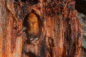 Mountain pine beetle (Dendroctonus ponderosae)  pupa in Lodgepole Pine, Wyoming, USA, August. The current outbreak of mountain pine beetles has been particularly aggressive. This is due to climate cha... - Jeff Foott
