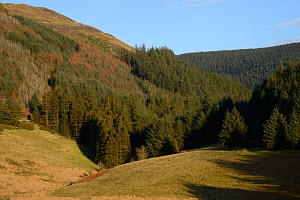Release area among wooded valleys where Pine Martens (Martes martes) have been reintroduced to Wales by the Vincent Wildlife Trust, Cambrian mountains, Wales, UK, December 2015. - Nick Upton