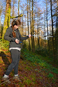 Josie Bridges using a radiotracker in coniferous woodland to locate radio-collared Pine Martens (Martes martes) reintroduced to Wales by the Vincent Wildlife Trust, Cambrian Mountains, Wales, UK, Dece...  -  Nick Upton