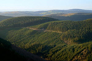 Forested valleys where Pine Martens (Martes martes) have been reintroduced to Wales by the Vincent Wildlife Trust, Cambrian mountains, Wales, UK, February 2016.  -  Nick Upton