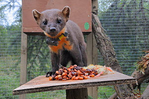 Pine marten (Martes martes) male standing on a feeding table in a soft release cage after arrival from Scotland, during a reintroduction project by the Vincent Wildlife Trust, Cambrian Mountains, Wale... - Nick Upton