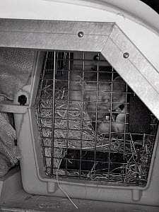 Pine Marten (Martes martes) in a cage in an animal transport van at a motorway service station en route from Scotland to Wales for a reintroduction project run by the Vincent Wildlife Trust, Scotland,...  -  Nick Upton