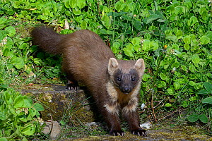 Pine marten (Martes martes) male descending garden steps at night on the way to visiting a bird table to forage on fruit and cake left out for martens, Knapdale, Argyll, Scotland, May. Photographed by... - Nick Upton