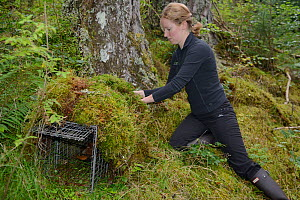 Lizzie Croose using moss to camouflage a live trap set for Pine Martens (Martes martes) in Scottish woodland for a reintroduction project to Wales run by the Vincent Wildlife Trust, Scottish Highlands...  -  Nick Upton