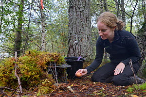 Lizzie Croose using an egg to bait a live trap set for Pine Martens (Martes martes) in mixed conifer and birch woodland for a reintroduction project to Wales run by the Vincent Wildlife Trust, Scottis... - Nick Upton