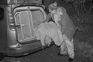 Dr. Jenny Macpherson placing a live trap containing a Pine Marten (Martes martes) caught at night in Scottish woodland into an animal transport van, for a reintroduction project to Wales run by the Vi...  -  Nick Upton