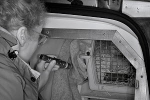 Dr. Jenny Macpherson inspecting Pine Martens (Martes martes) in an animal transport van at a motorway servce station en route from Scotland to Wales for a reintroduction project run by the Vincent Wil... - Nick Upton