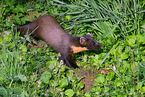 Pine marten (Martes martes) female descending garden steps at night on the way to visiting a bird table to forage on fruit and cake left out for martens, Knapdale, Argyll, Scotland, May. Photographed... - Nick Upton