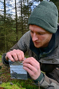 David Bavin collecting scat of a Pine Marten (Martes martes) reintroduced to Wales by the Vincent Wildlife Trust, Cambrian Mountains, Wales, UK, February 2016. Model released.  -  Nick Upton