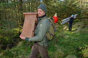 David Bavin carrying a wooden den box to be fixed to a tree for use by Pine Martens (Martes martes) reintroduced to Wales by the Vincent Wildlife Trust, as Josie Bridges carries a ladder for access, C...  -  Nick Upton