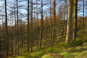 Coniferous plantation habitat where Pine Martens (Martes martes) have been reintroduced by the Vincent Wildlife Trust, Cambrian Mountains, Wales, UK, February 2016. - Nick Upton