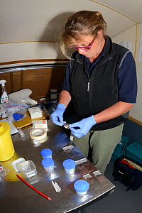 Veterinarian Alexandra Tomlinson preparing Pine Marten (Martes martes) blood samples on microscope slides from animals trapped in Scottish woodland during a reintroduction project to Wales run by the...  -  Nick Upton