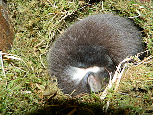 Pine martin (Martes martes) kit sleeping in owl nest box. These kits were born in Wales to parents released in translocation programme by the Vincent Wildlife Trust. Cambrian Mountains, Wales, UK. May...  -  Vincent Wildlife Trust