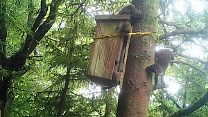 Pine martin (Martes martes) kits playing outside nest box. These kits were born in Wales to parents released in a translocation project by the Vincent Wildlife Trust. Cambrian Mountains, Wales, UK. Fo...  -  Vincent Wildlife Trust