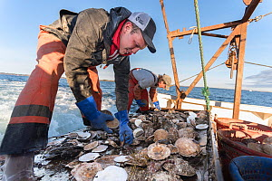 Fishermen harvesting scallops from a scallop dredge on a scallop boat. Cousins Island, Maine, USA, January. Model released.  -  Jeff Rotman