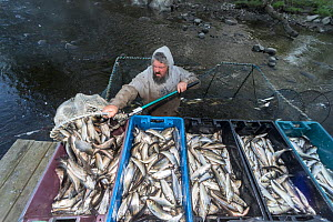 Man emptying Alewives (Alosa pseudoharengus) from a hoop net into crates during the Annual Spring Harvest, Dresden, Maine, USA. May. Model released. - Jeff Rotman