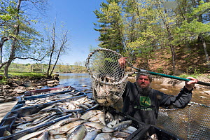 Man catching Alewives (Alosa pseudoharengus) with a hoop net during the Annual Spring Harvest, Dresden, Maine, USA. May. Model released.  -  Jeff Rotman