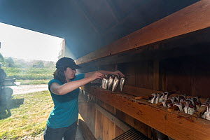 Woman placing  Alewives (Alosa pseudoharengus) in a smoker, Dresden, Maine, USA. May. Model released. - Jeff Rotman