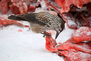 Spotted nutcracker (Nucifraga caryocatactes) feeding on reindeer meat at a winter herders' camp, Purovsky region, Yamal. Western Siberia, Russia - Bryan and Cherry Alexander