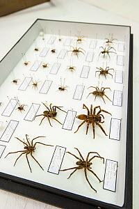 Deserta Grande wolf spider (Hogna ingens) and other spider specimens in a display case, Funchal's Natural History Museum, Madeira, Portugal.  -  Emanuele Biggi