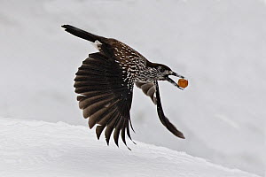 Spotted nutcracker (Nucifraga caryocatactes) flying carrying nut. Pennine Alps, Wallis, Switzerland. Small repro only.  -  Eric Dragesco