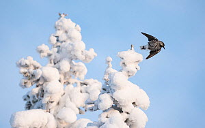 Spotted nutcracker, (Nucifraga caryocatactes) taking off from snow covered  tree, Finland, January. - Jussi  Murtosaari