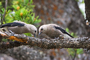 Clark's nutcracker (Nucifraga columbiana) two juveniles searching for food in pine tree, Lamar Valley, Yellowstone National Park, Wyoming, USA, June.  -  Mike Read
