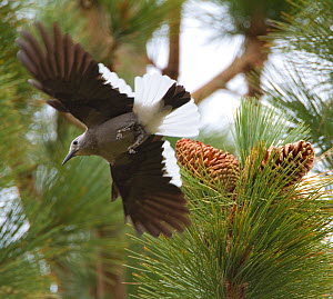 Clark's Nutcracker (Nucifraga columbiana), taking flight from Jeffrey Pine (Pinus jeffreyi) where it has been gathering pine seeds, autumn, Mono Lake Basin, California, USA - Marie  Read