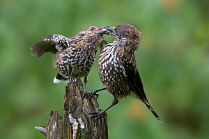 Spotted nutcracker (Nucifraga caryocatactes) adult feeding fledgling, Tatra Mountains, Poland  -  Mateusz  Piesiak