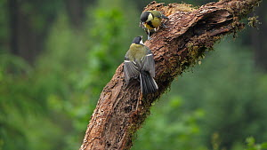 Slow motion clip of a Great tit (Parus major) fledgling begging for food by fluttering wings,  chased off by adult, Carmarthenshire, Wales, UK, June. - Dave Bevan